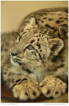 Snow Leopard Cub 85 of 365 by In-the-picture