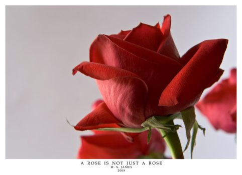 A Rose is not by MSJames