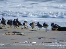 Sandpipers by RaisedFists