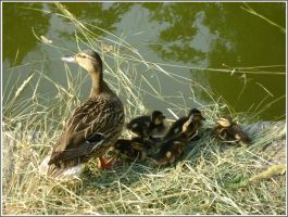 Mother duck by Iuliaq