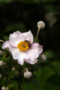 A bee on a flower by kasienkaa