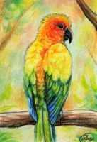 Sun Conure ACEO by animalartist16