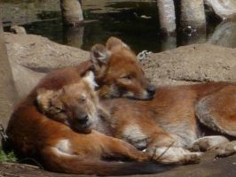 Dhole on dhole by A-ichiWolf