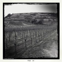 Vineyard. by Luton