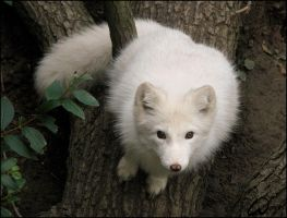 Fat?No, fluffy baby arctic fox by woxys