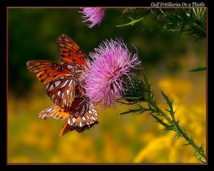 Gulf Fritillaries on a Thistle by boron