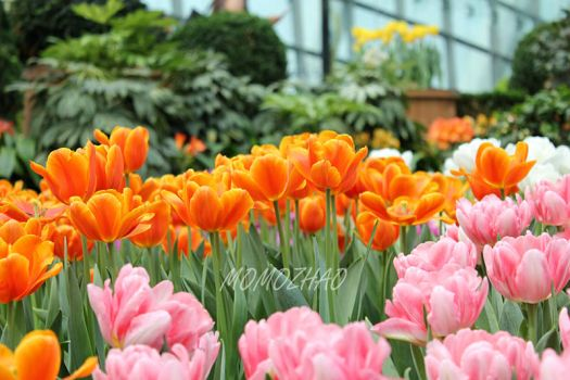 Orange and pink tulips by Momo-Zhao
