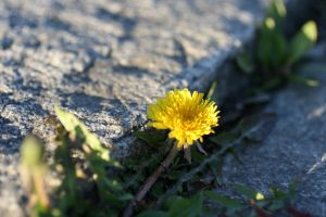 Dandelion. by NelPhotography