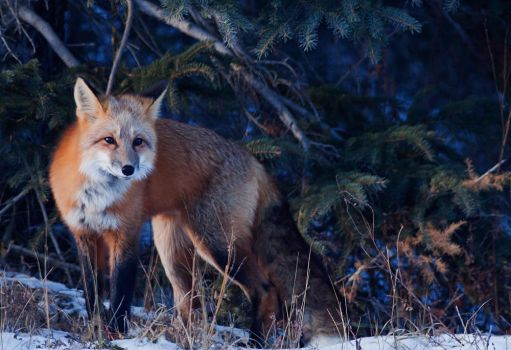 Warm fox in a cold forest by Thomas-Koidhis