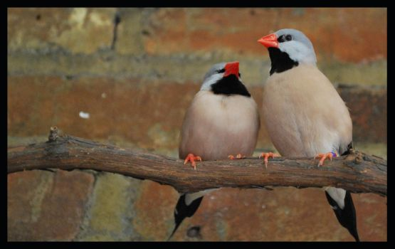 Some finches or waxbills or so by Teh-Ked