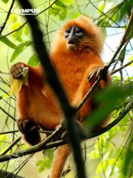 P4198851_Red Leaf Monkey by jitspics