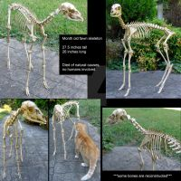 Fawn Skeleton Articulation by BluesCuriosities