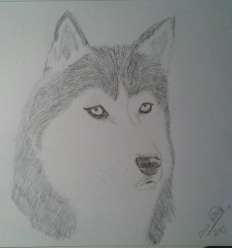 husky (pencil) by dreamworks23m