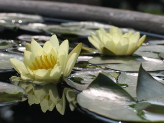 Water Lily (China) by nbrignol