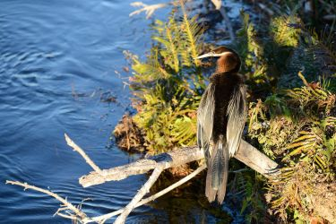 Anhinga rufa by NB-Photo