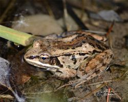 Columbian spotted frog2 by themanitou