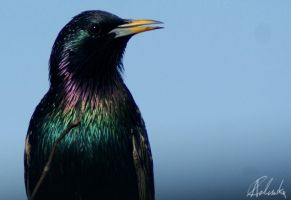Starling II by Council66