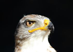 The ferruginous hawk by JetteReitsma