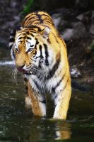 .:Water Tiger II:. by WhiteSpiritWolf
