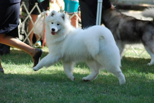 Samoyed 2 by xxtgxxstock