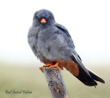 Red-footed Falcon by Jamie-MacArthur