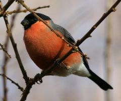 Male Bullfinch by NurturingNaturesGift
