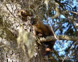 American marten in fir tree 3 by themanitou