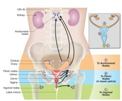 Female reproductive medical graphic by rizzope