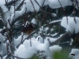 Thrush Sheltering From Snow by wolfwings1