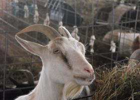 Stock: BillyGoat II by Stock-By-Michelle
