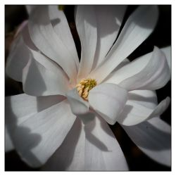 Star Magnolia by Frostola