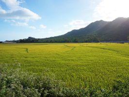 Coastal Rice Field by WillTC