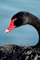 Black Swan by El-Sharra