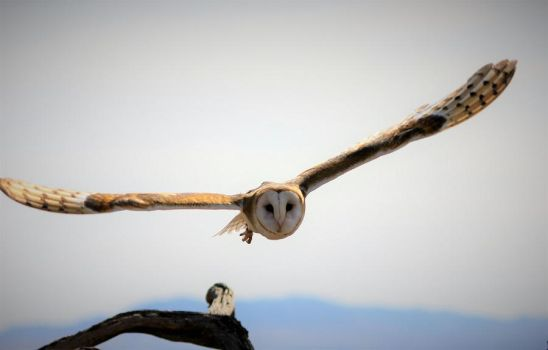 Barn Owl approaching! by finhead4ever