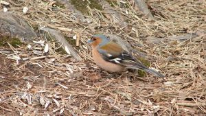 Chaffinch 1 by typhlosion
