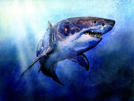 Great White Shark by bigredsharks
