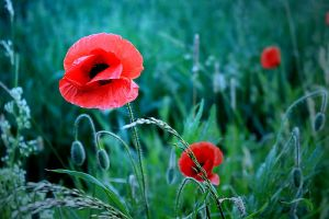 the poppy by hv1234