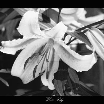 White Lily by Lileya