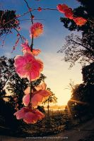 Ume and Sunset by WindyLife