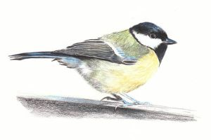 Great Tit, Parus major by reesmeister