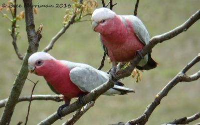Pink And Grey Galah IV by BreeSpawn