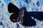 Black Butterfly by LicamtaPictures