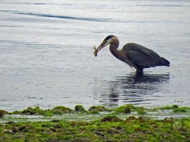 Heron With It's Dinner by wolfwings1