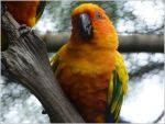 62. Conure by fire-works