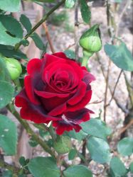 Flowers-Blood Red Roses by happy-happy-muffin
