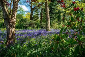 Bluebell Glade by EmMelody