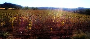 Sunflowes Cuenca, Spain by carrodeguas