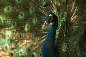 Peacock display 1 by toshema