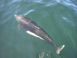 Dall's Porpoise 1 by Pteryxx