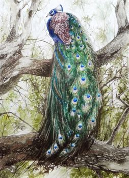 Peacock by jakhont